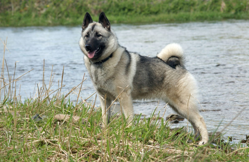 El Norwegian Elkhound