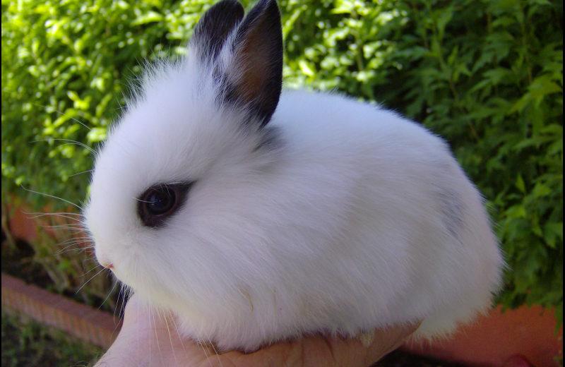 El Conejo Enano de Angora