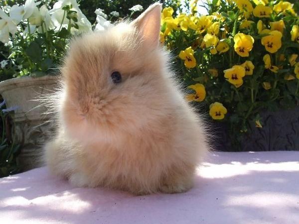 Razas de conejos enanos