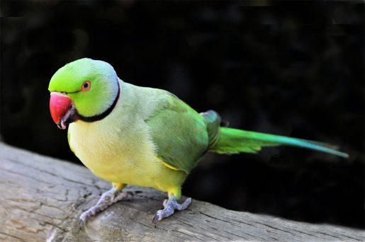 Aves, necesidades nutricionales psitácidas - Cotorra de Kramer
