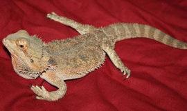 Reptiles: enfermedad ósea metabólica