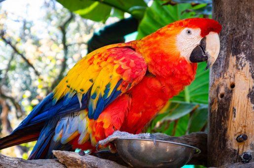 Aves, necesidades nutricionales psitácidas - Loro