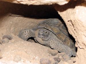 Tortugas: Hibernación