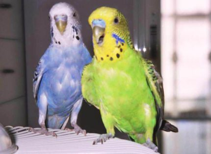 La vitamina A en las Aves