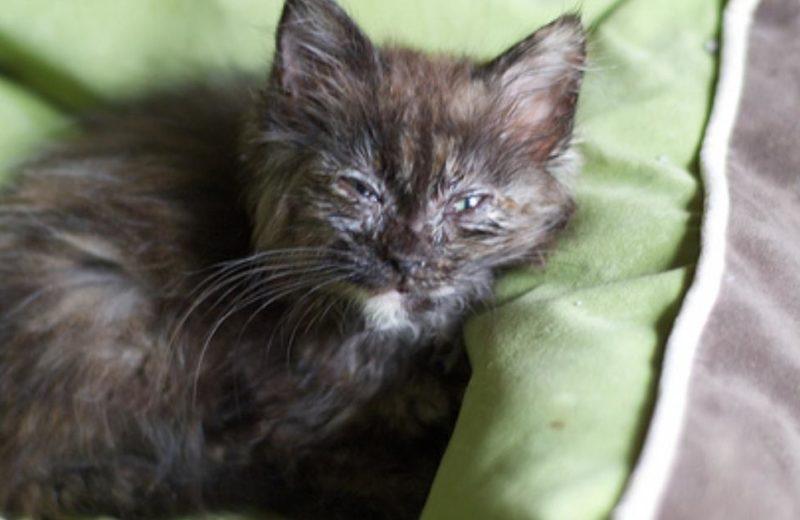 Infección clamidial en gatos