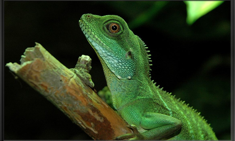 Dragón chino acuático o dragón verde