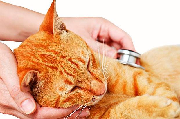 La esterilización o castracion de gatos