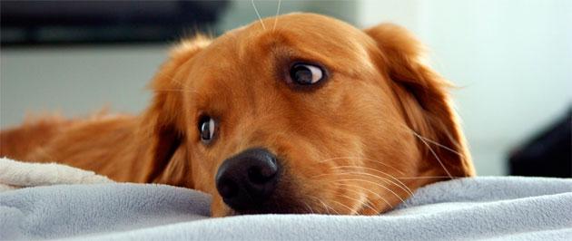 El puerperio en perras – Puerperio canino