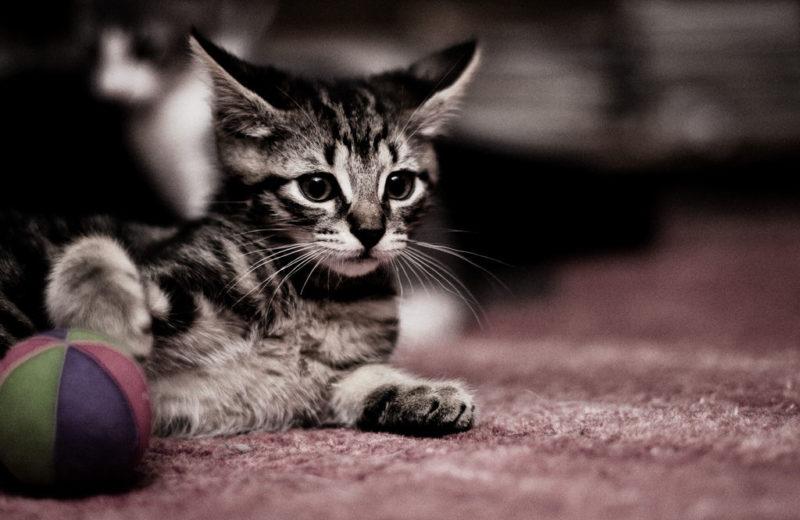 Cinco juguetes para gatos hechos con calcetines