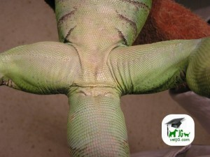 Iguana hembra