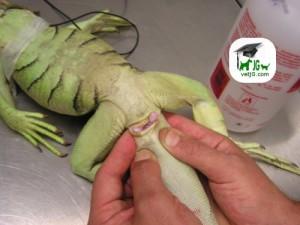 Iguana macho