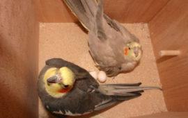 La puesta crónica de huevos