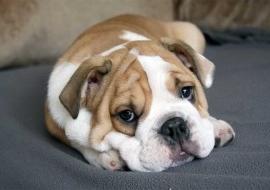 Mi perro ronca, ¿qué le ocurre?