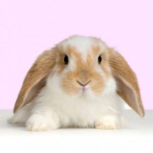 Conejos: anatomía y función del hígado. Enfermedades (1ª Parte)