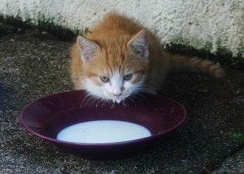 ¿La leche es peligrosa para los gatos?