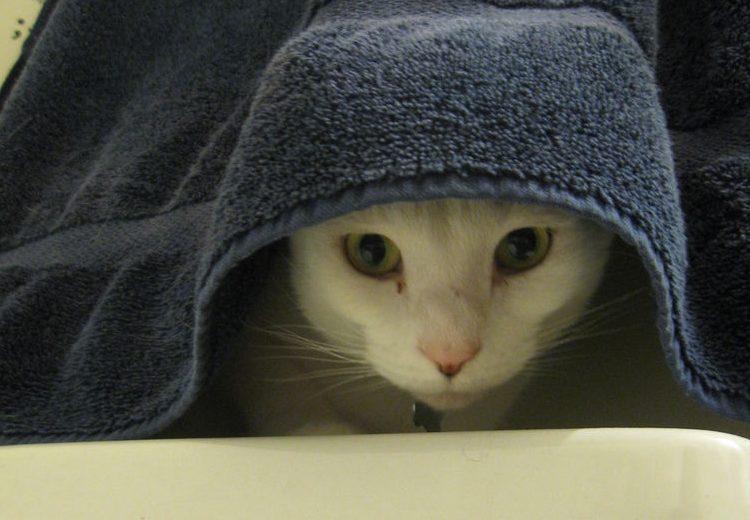Ayudar al gato durante un golpe de calor