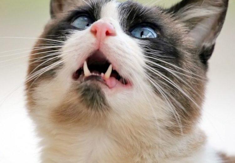 ¿Por qué los gatos castañean los dientes cuando ven un pájaro?