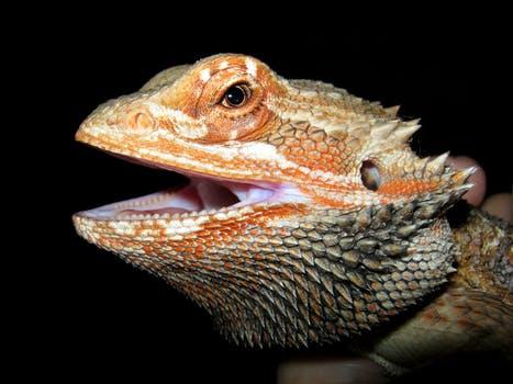 Pogona: dragón barbudo
