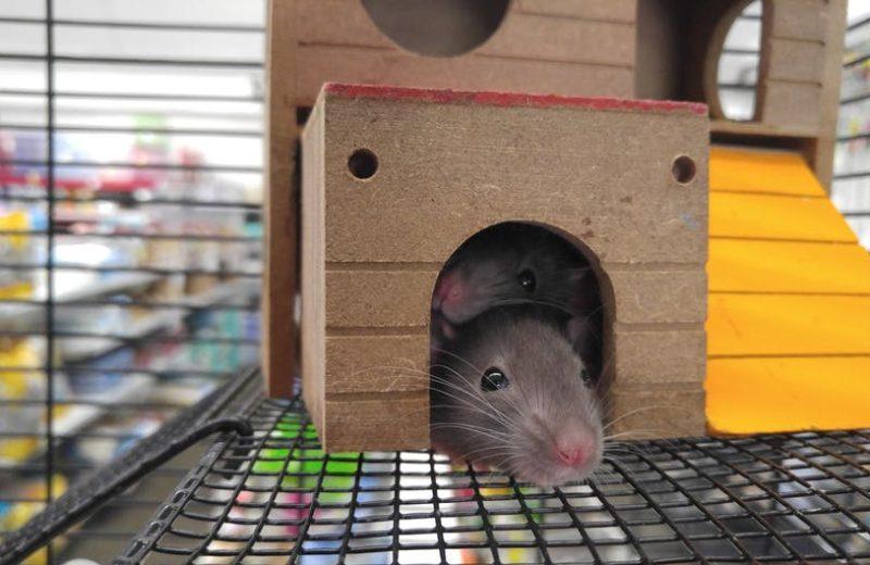 Ratas: Alimentación