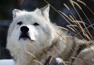 ¿Por qué algunos lobos se convirtieron en perros? La alimentación fue clave