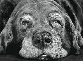 Entender al perro mayor durante su envejecimiento