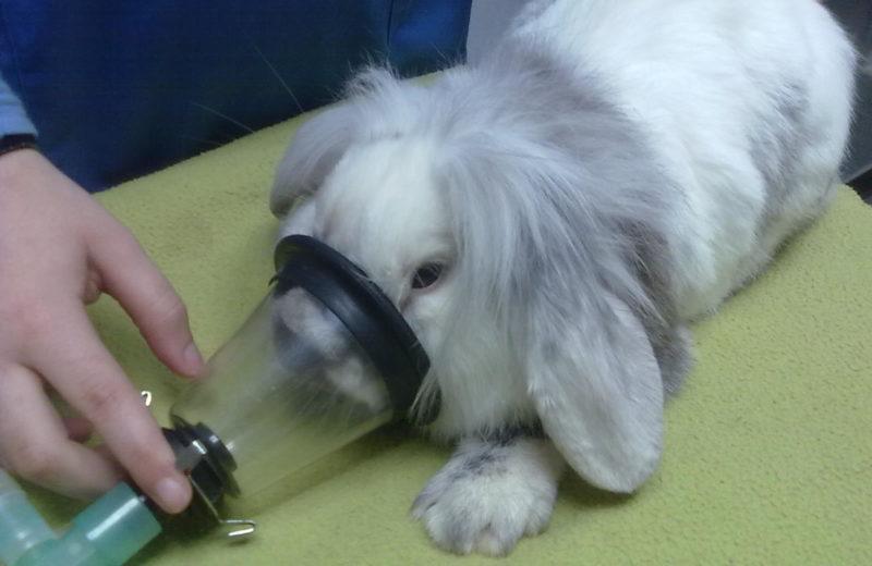 Cómo se anestesia al pequeño roedor