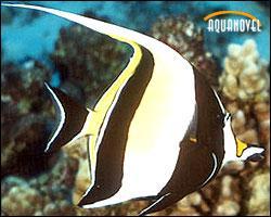 El Zanclus Cornutus