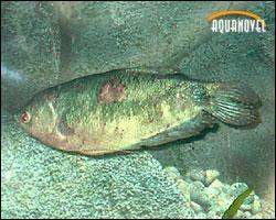 Enfermedades de los peces: nodulosis