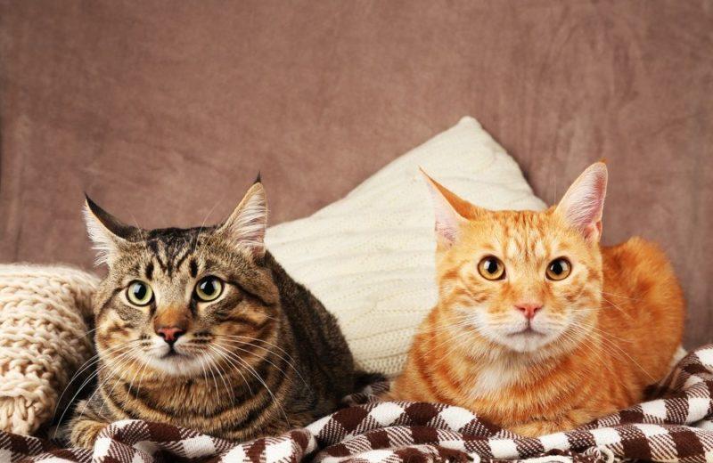Adoptar otro gato en seis pasos, ¡y sin peleas!
