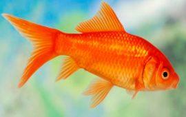 Las carpas, los peces más comunes del acuario de agua fría