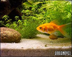 Montando un acuario para Goldfish