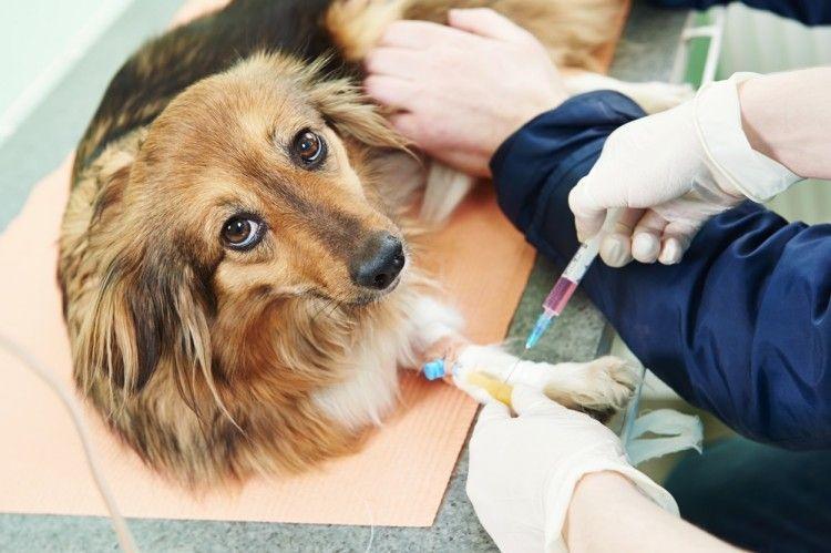 ¿Sabes el grupo sanguíneo de tu perro? Pues deberías.