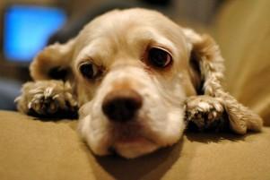 Quimioterapia para perros: cinco dudas habituales
