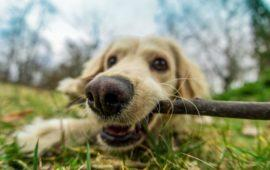 Jugar con palos es peligroso para los perros
