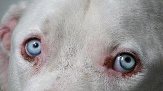 Nistagmo en perros