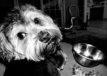 Ocho alimentos que causan alergia al perro