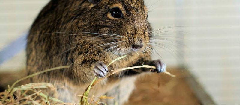 La importancia del heno para los roedores