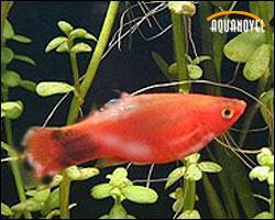 Enfermedades de los peces: podredumbre en las aletas