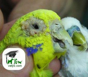 La sarna en periquitos y canarios