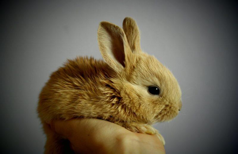 Manejo y domesticación del conejo enano