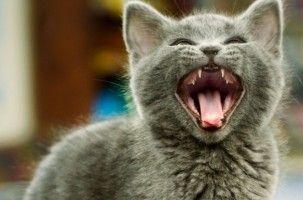 Mi gato ha perdido la voz, ¿qué hago?