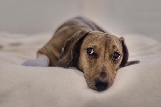 ¿Cómo cuidar las glándulas anales del perro?