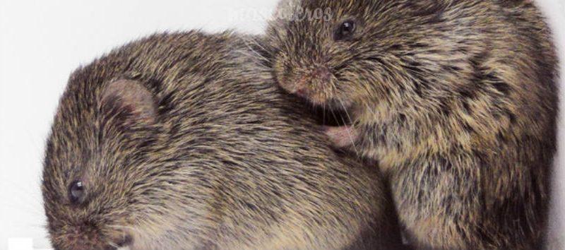 Los roedores son comprensivos y empáticos