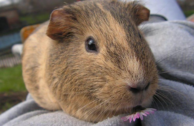 Cuidados de nuestros roedores: pelaje, uñas y oídos