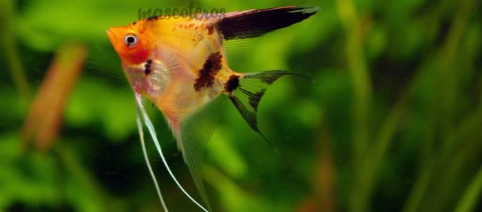 ¿Por qué los peces se comen los huevos que ponen?