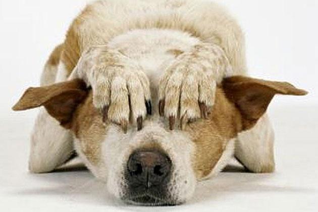 ¿Los perros sufren de ataques de pánico?