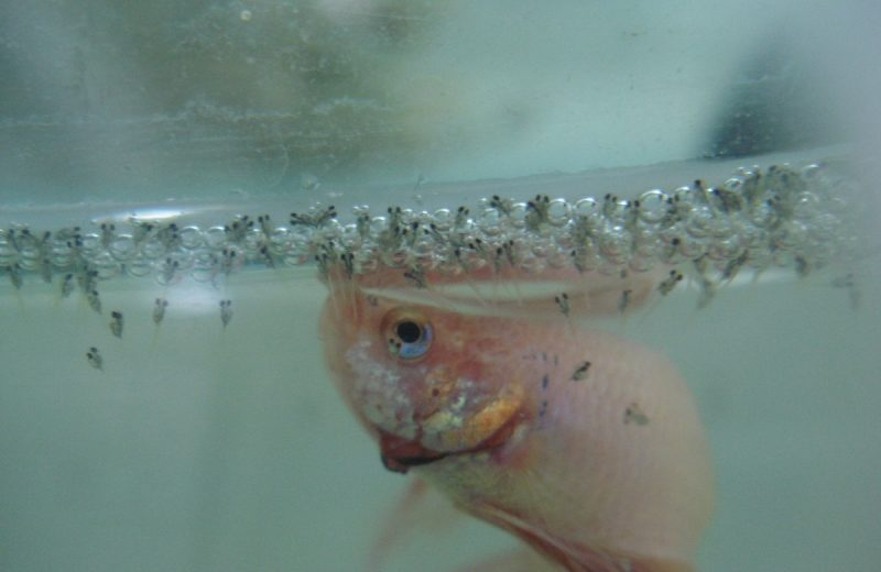 Seis pasos para ayudar a nuestros peces Betta a criar