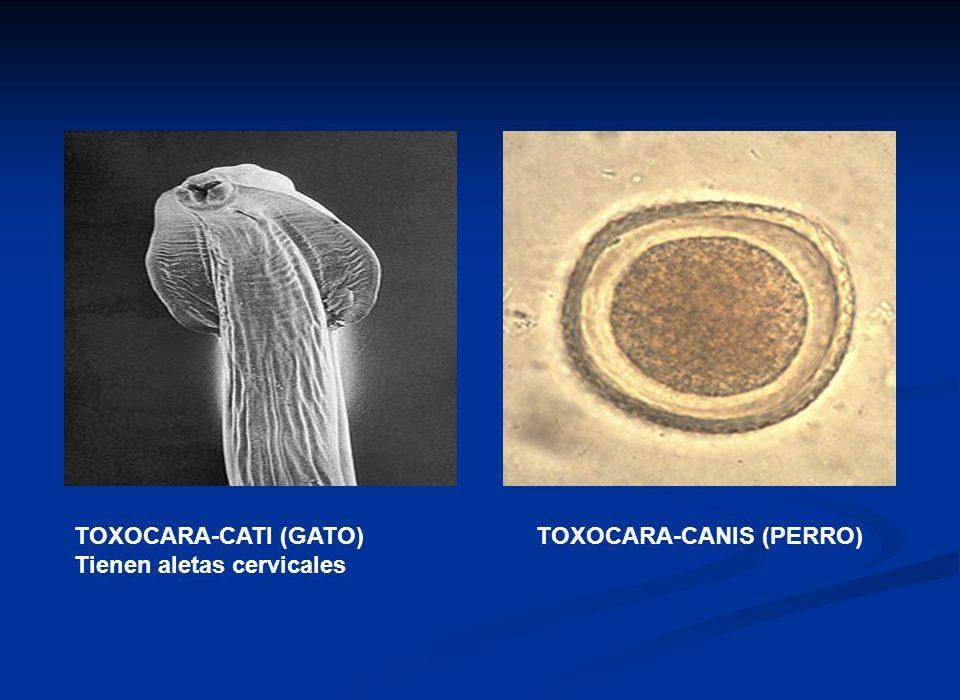 gusanos en popo de gato