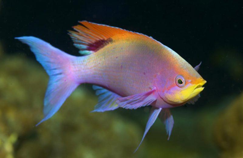 Los peces tienen memoria y sienten el dolor