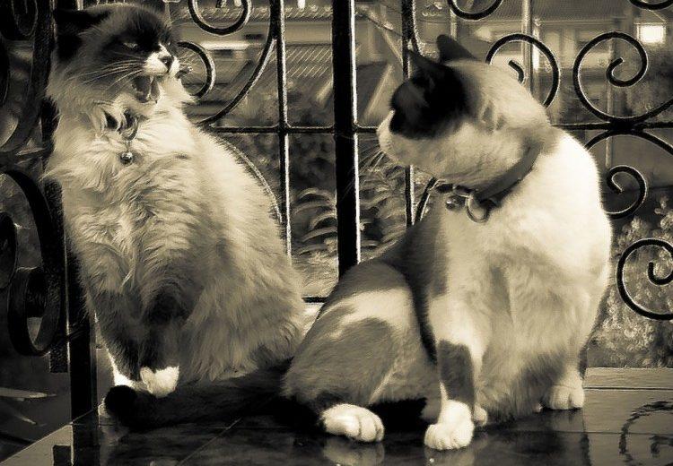 ¿Qué hacer cuando dos gatos se pelean? 10 trucos